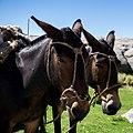 2 mules in Córdoba Province Argentina (249740823).jpg