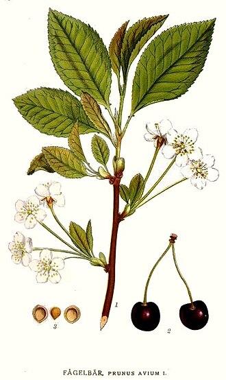 Pedicel (botany) - Image: 314 Prunus avium