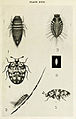 41-Indian-Insect-Life - Harold Maxwell-Lefroy - Anthrenus-vorax.jpg