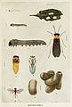 44-Indian-Insect-Life - Harold Maxwell-Lefroy - Athalia-proxima.jpg
