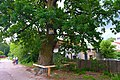80-385-5021 Kyiv Krasytsky Oak SAM 9977.jpg