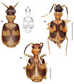 A-synopsis-of-the-tribe-Lachnophorini-with-a-new-genus-of-Neotropical-distribution-and-a-revision-zookeys-430-001-g015.jpg