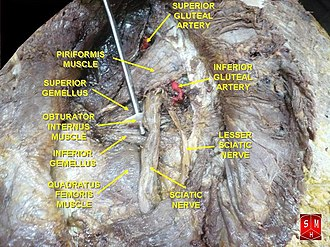 Inferior gluteal artery - Image: AGSI