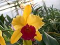 A and B Larsen orchids - Brassolaeliocattleya Alma Kee Tipmalee DSCN4492.JPG