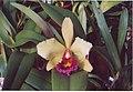 A and B Larsen orchids - Laeliocattleya Mem Sangah Chit x Brassolaeliocattleya Faye Miyamoto 983-13.jpg