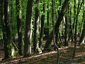 Forestry - A deciduous beech forest in Slovenia