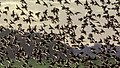 A flock of starlings (Sturnus vulgaris) gather in the evening hours in autumn.jpg