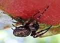 AaIMG 0480 Immenstadt Spinne.jpg