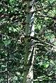 Abies-sibirica-(2).jpg