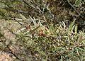 Acacia aneura kz1.jpg