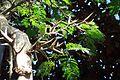 Acacia cornigera kz1.jpg