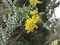 Acacia cultriformis.JPG