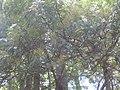 Acacia elata Cunn. ex Benth. (AM AK319693).jpg