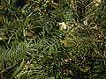 Acacia mearnsii (6363613147).jpg