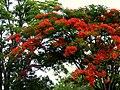 Acacia roja - Flamboyán (Delonix regia) (14092076117).jpg