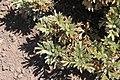 Acaena splendens (30310375400).jpg