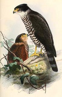 Semicollared hawk Species of bird