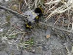 File:Accouplement de bourdons (Bombus sp.).ogv