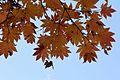 Acer japonicum - Flickr - odako1.jpg