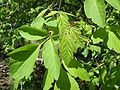 Acer negundo californicum Tehachapi.jpg