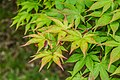 Acer palmatum subsp. amoenum in Hackfalls Arboretum (2).jpg