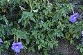 Achimenes grandiflora 0384.jpg