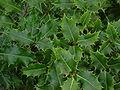 Acivro Ilex aquifolium.jpg