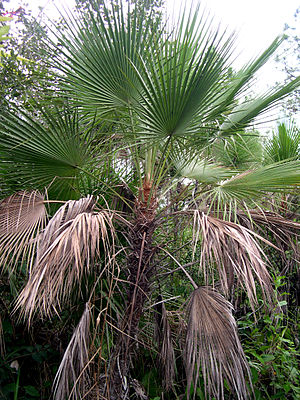 Flora of Belize - ''Acoelorraphe wrightii'', savanna palmetto.