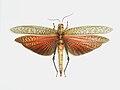Acrididaeunidentified (2).JPG
