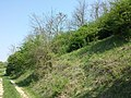 Adonis vernalis sl45.jpg