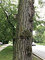 Adventitious growth on a tree.jpg