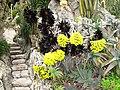 Aeonium arboreum atropurpureum.jpg