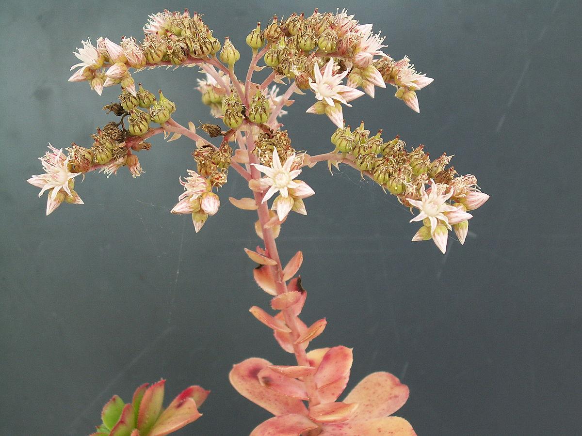 Aeonium Haworthii Wikimedia Commons