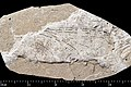 Aeshna andancensis holotype MNHN.F.R10403 counterpart side direct lighting.jpg