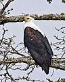 African Fish-Eagle (Haliaeetus vocifer).jpg