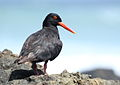 African Oystercatcher or African Black Oystercatcher, Haematopus moquini (13171329553).jpg