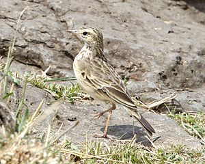 African pipit - Adult A. c. lacuum in Kenya