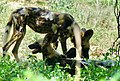 African Wild Dogs (Lycaon pictus) (51276890325).jpg