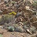 Agave sebastiana in Islas San Benito in Baja Kalifornien Süd.jpeg