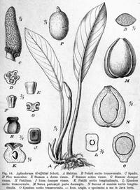 Aglaodorum griffithi Pflanzenreich.png