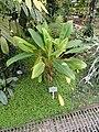 Aglaonema nitidum - Copenhagen Botanical Garden - DSC07430.JPG
