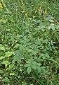 Agrimonia eupatoria DS3.jpg