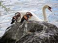 Aix galericulata - Seefeldquai 2013-05-18 16-34-50 (P7700).JPG