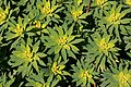 Alcúdia - Cami de Manresa - Euphorbia dendroides 02 ies.jpg