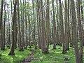 Alder coppice at Matley Bog, New Forest - geograph.org.uk - 188396.jpg