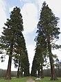 Allée des Séquoias - panoramio.jpg