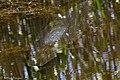 Alligator Gar Anahuac NWR TX 2018-04-24 13-15-06 (41157315955).jpg