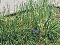 Allium caeruleum Egyptian Top Onion MN 2007.JPG