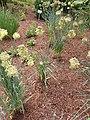 Allium obliquum 2020-06-23 0632.jpg