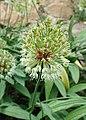 Allium victorialis kz02.jpg